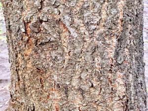 クヌギの幹