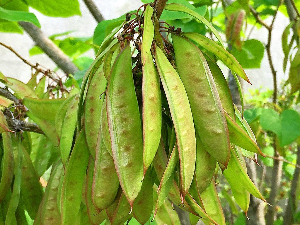 ハナズオウの長楕円形の豆果