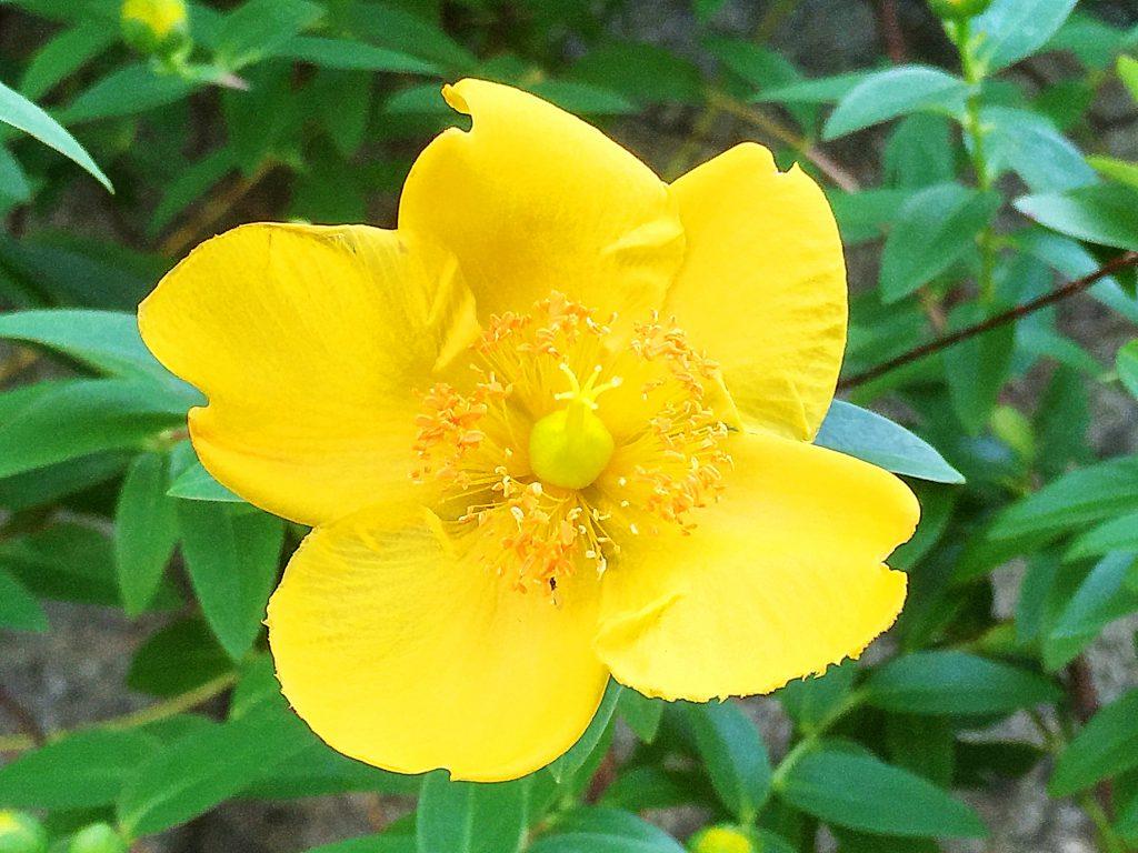 ヒペリカム・ヒドコートの花