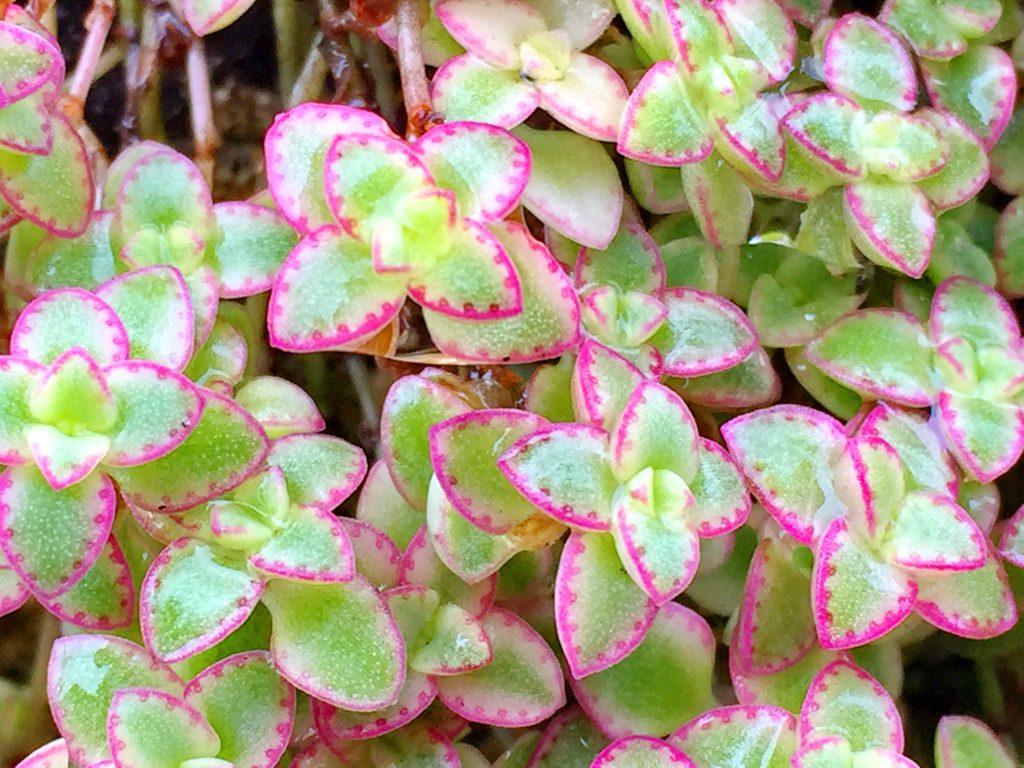 淡緑色にクリーム色の覆輪、ピンクの縁取りが特徴のリトルミッシー
