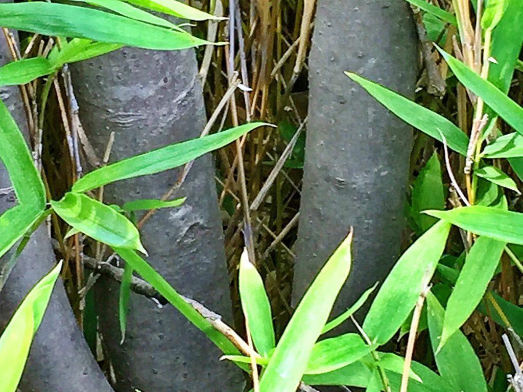 木目が細かく寄木細工に利用されるアオハダ(青膚)の幹