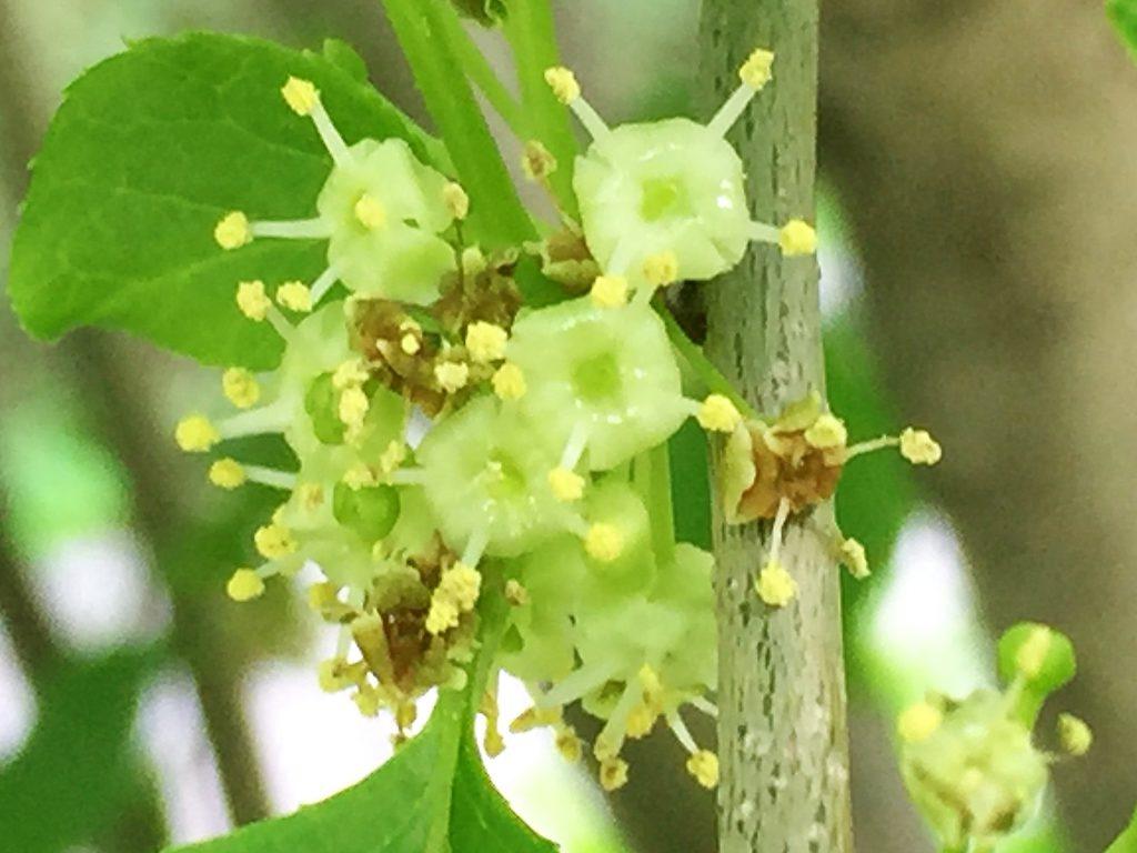 アオハダ(青膚)の花