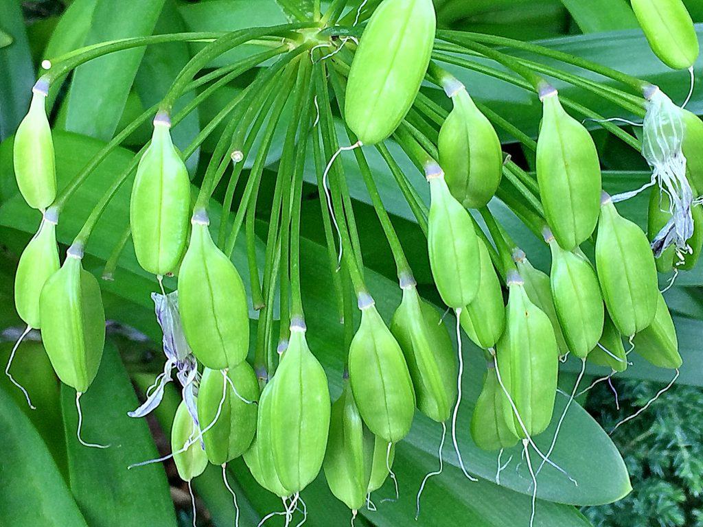 アガパンサス(アフリカンリリー)の果実