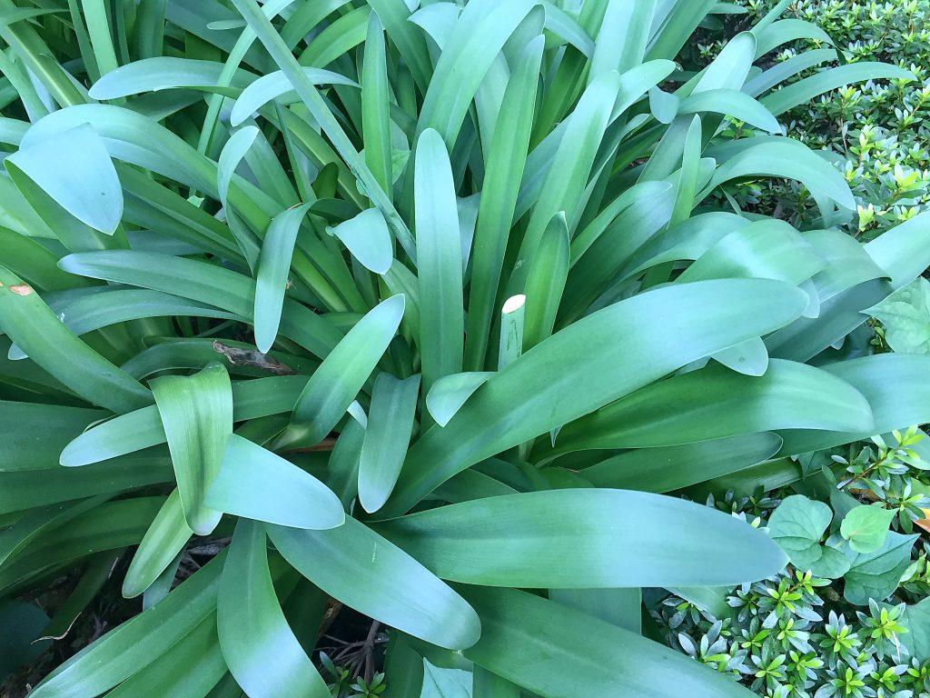 肉厚で艶のあるアガパンサス(アフリカンリリー)の葉