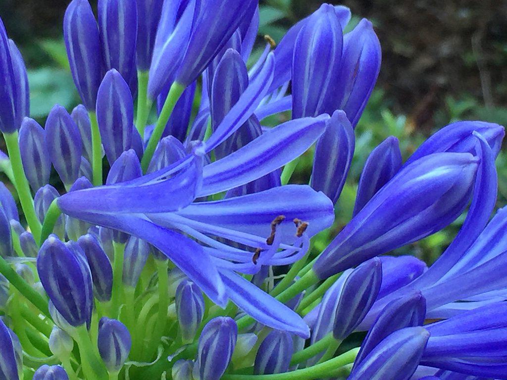 アガパンサス(アフリカンリリー)の漏斗状の花