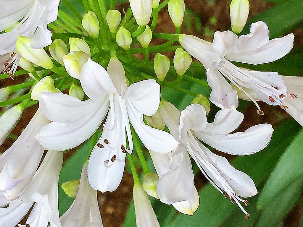アガパンサスの白花