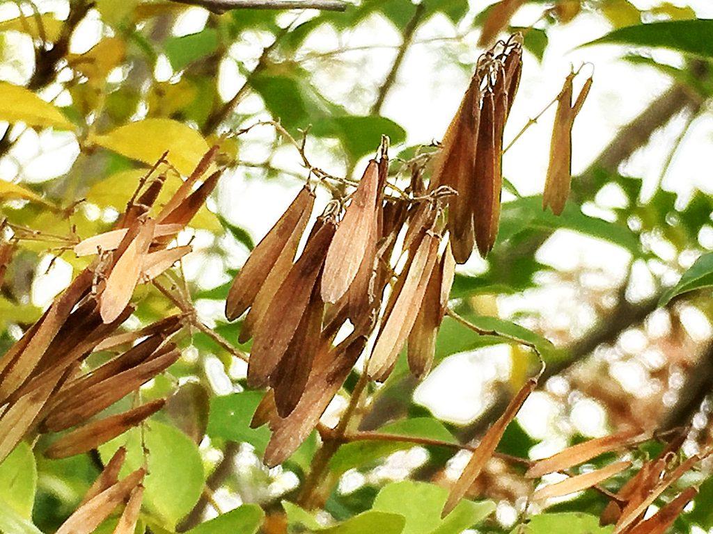 シマトネリコの熟した果実、中には種子が1個