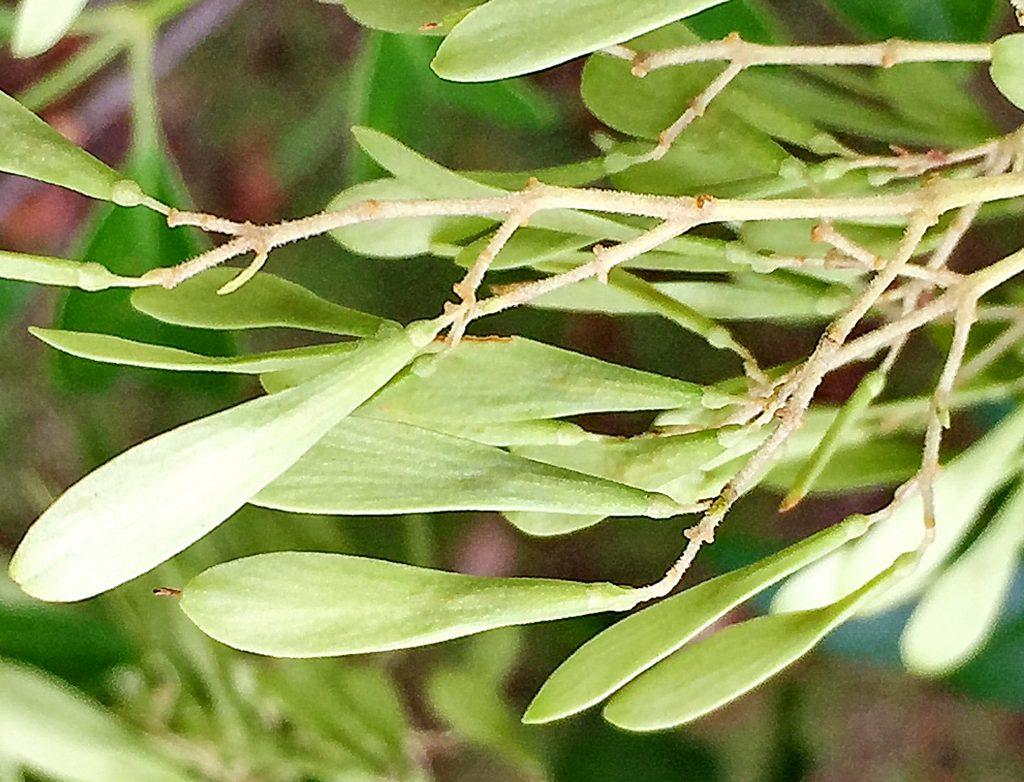 シマトネリコ(島十練子)の扁平な果実