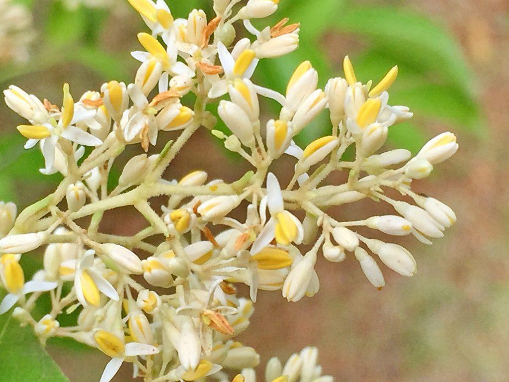 良い香りがする雌株に付いたシマトネリコの花