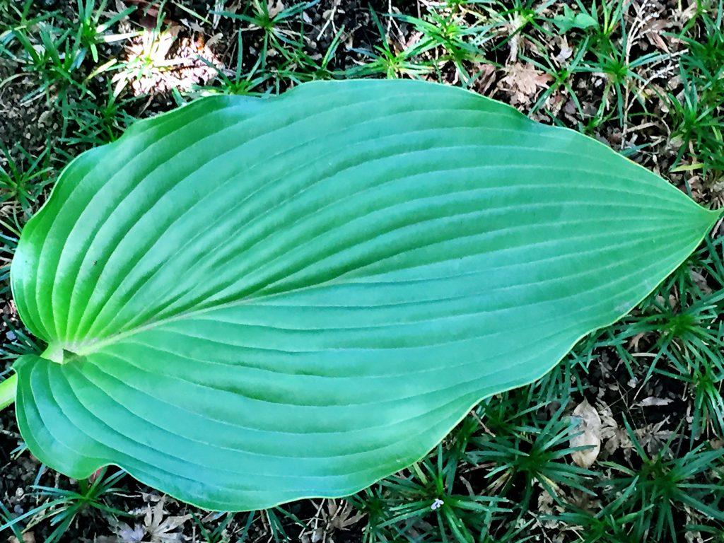 先の尖った楕円形で光沢のあるオオバギボウシの葉