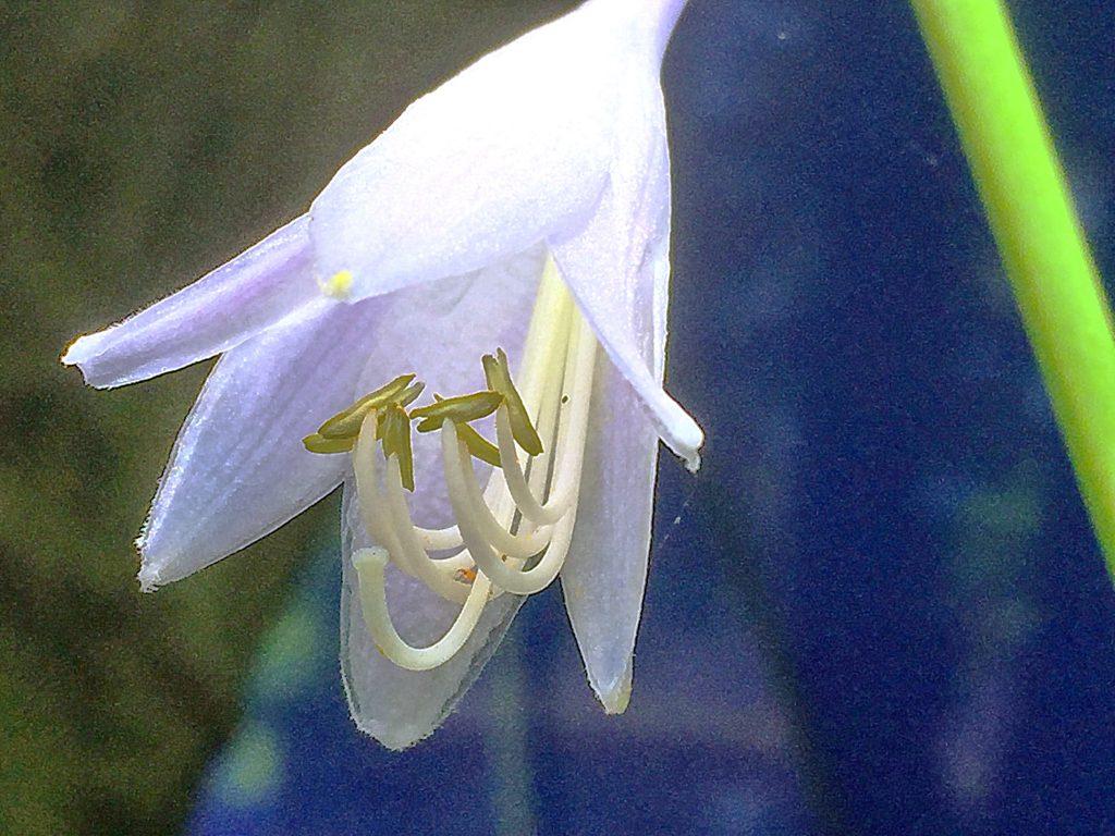 透明感のあるオオバギボウシの花