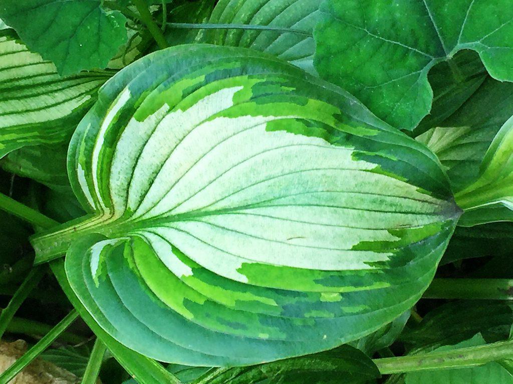 鮮やかな葉色の斑入りのギボウシの葉