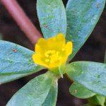 スベリヒユの花