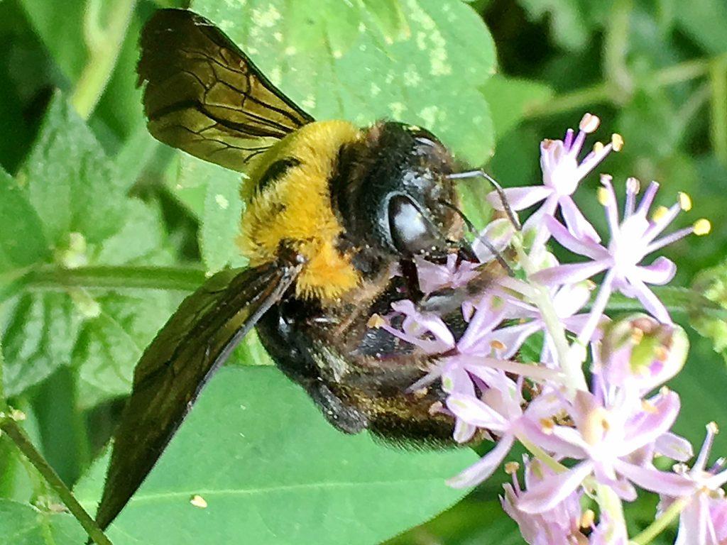 ツルボにクマバチ
