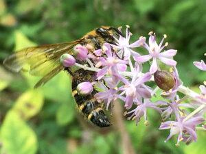 ツルボにヒメナガハラツチバチ