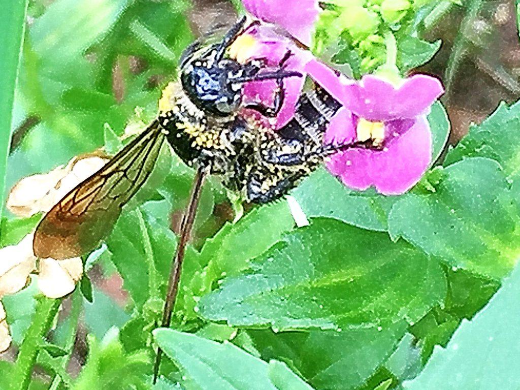 花粉を背中にいっぱいつけた雌のヒメナガハラツチバチ