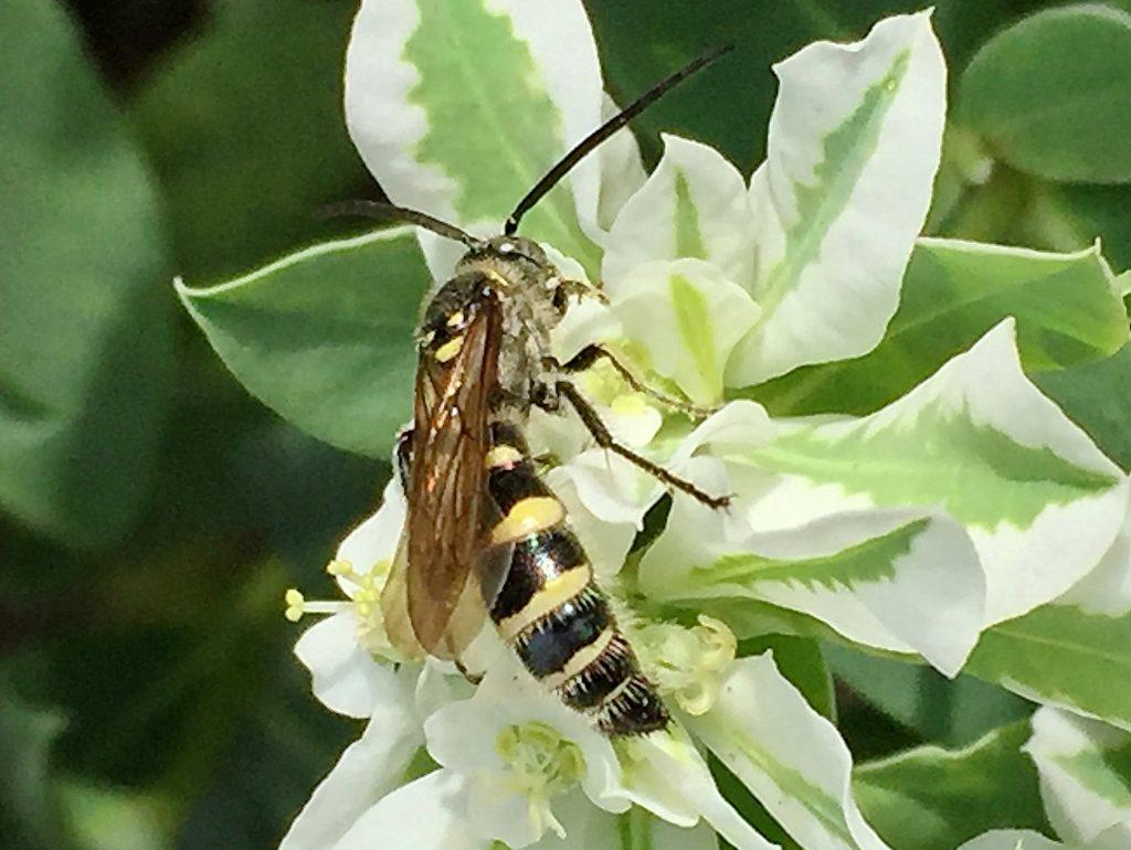 胸背部に笑った顔のような黄色い斑紋がある雄のヒメハラナガツチバチ