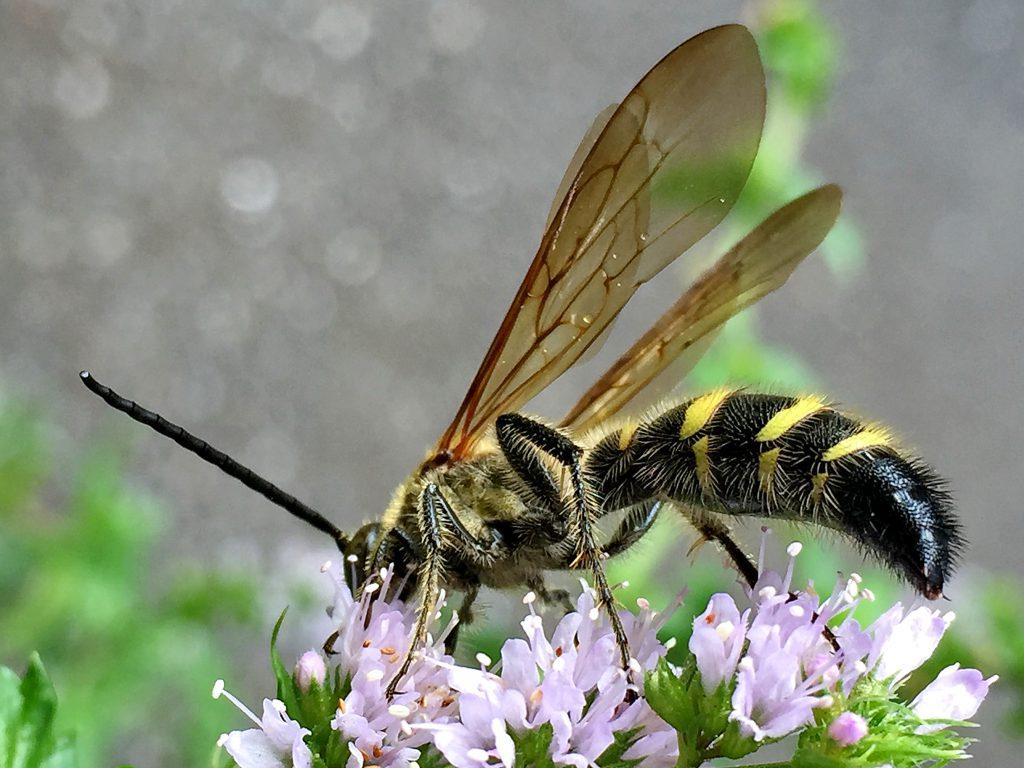 5本の黄色い帯紋と毛帯をもつ雄のヒメハラナガツチバチ