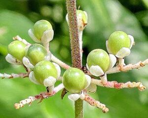 ヤブミョウガの若い果実