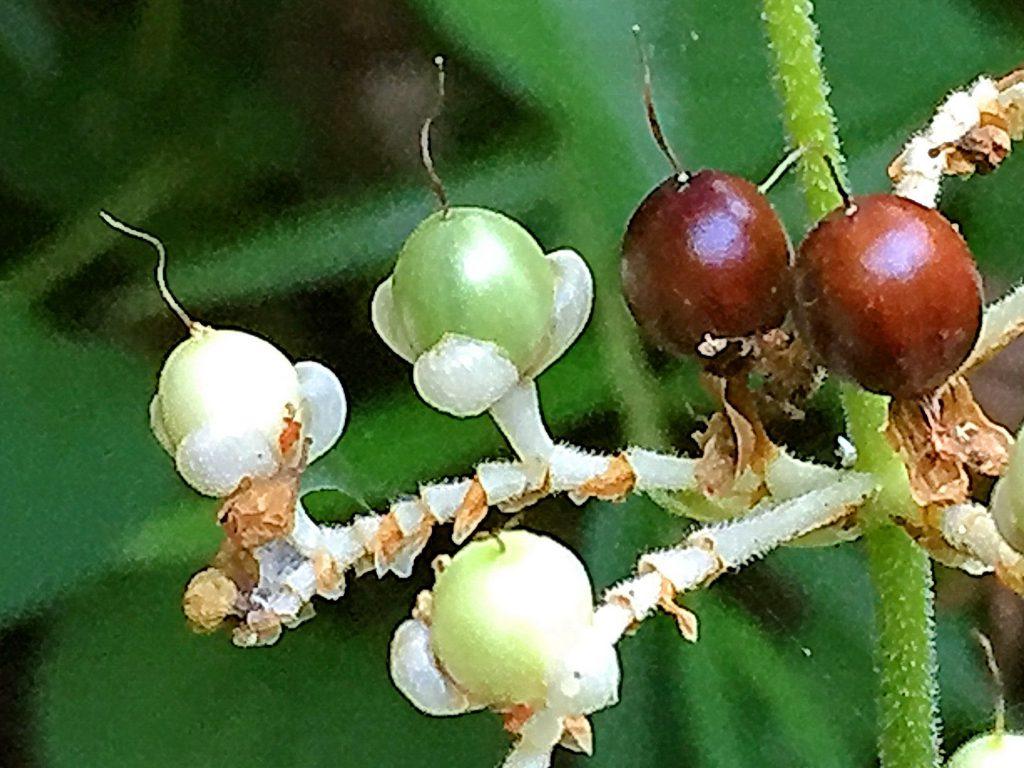 ヤブミョウガの果実は白→緑→茶→紺→藍紫色と変化します