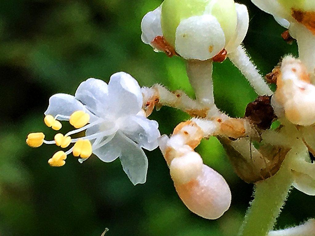 透明感のある白色に黄色い葯が目立つヤブミョウガの雄花