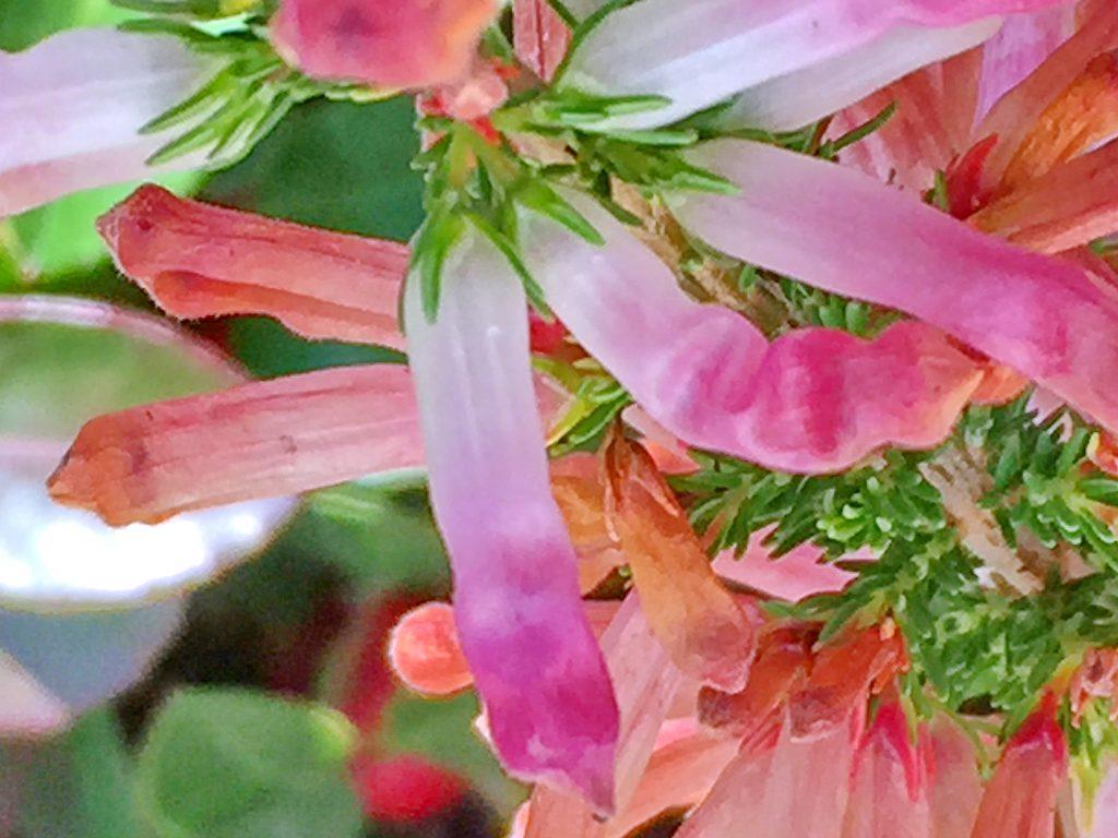 白色から先がピンク色に変わってきたエリカ・コロランス'ホワイト・デライトの花