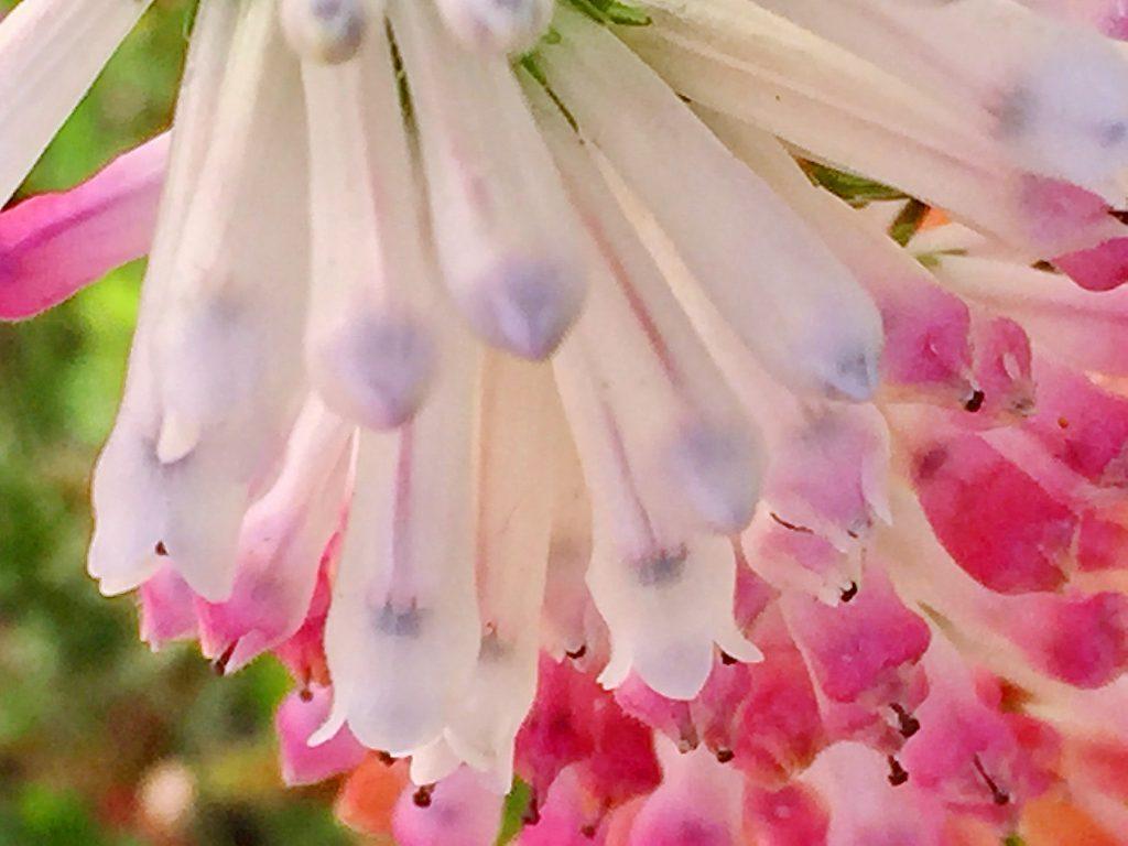白色からピンク色に変わるエリカ・コロランス'ホワイト・デライト'