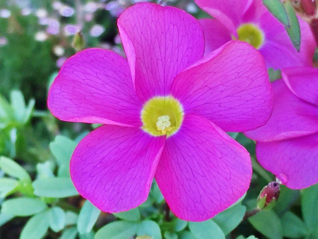 桃色の花弁の中央は黄色いオキザリス・グラブラの花。