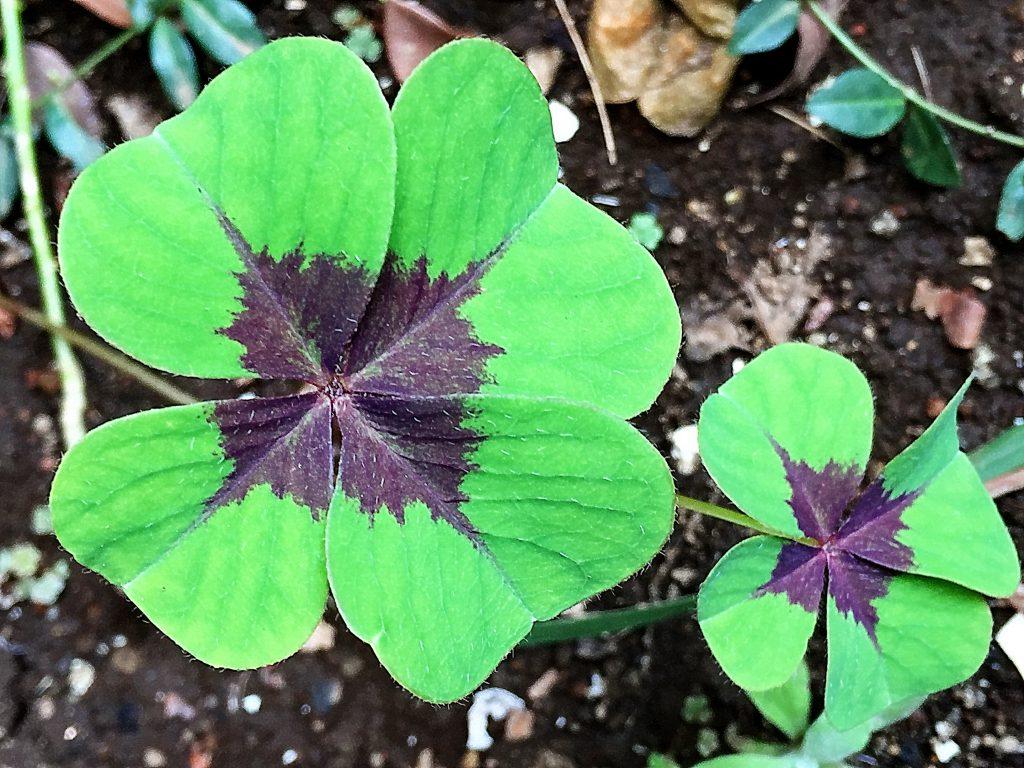 緑色の葉の中央に紫色の班があるオキザリス・デッペイ