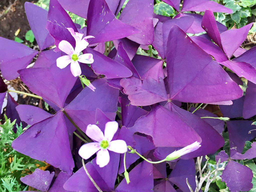 濃紫色のシックな葉色にピンクの花を咲かせるオキザリス・トリアングラリス