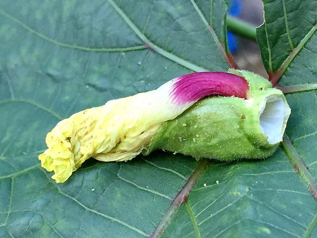 花は1日花、子房の成長で押し上げられてスポッと抜け落ちたオクラの花