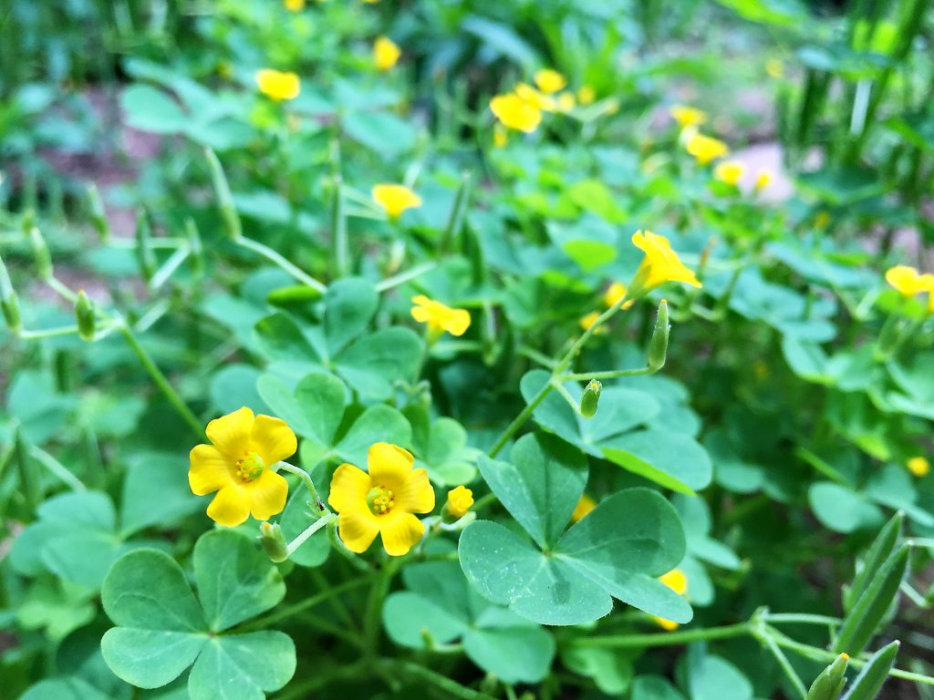 匍匐系を伸ばして広がるハート型の葉と黄色い5弁花のカタバミ