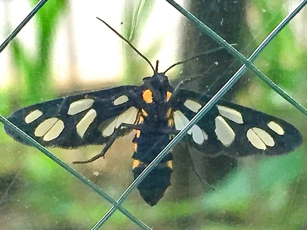 鹿の子模様の翅に側面に黄色い斑紋が5個づつある雌のカノコガのお腹側