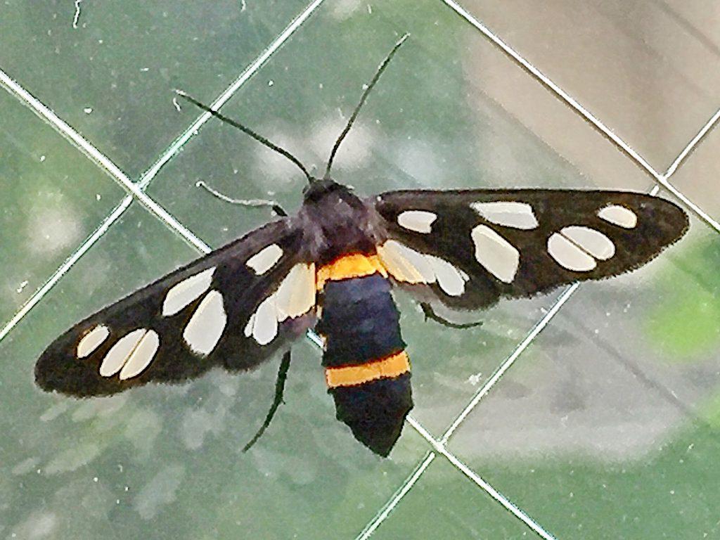 黒地に2本の黄帯を持ち鹿の子模様の綺麗な翅が特徴的な雌のカノコガ