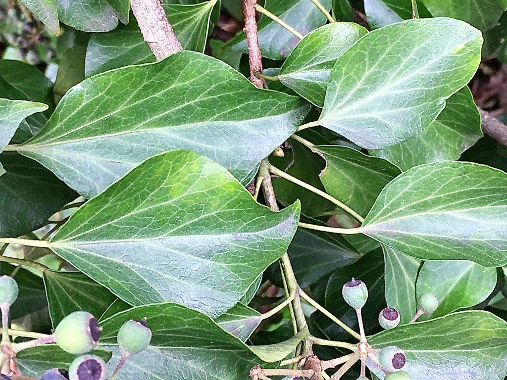 革質で艶があり、楕円形のキヅタの葉