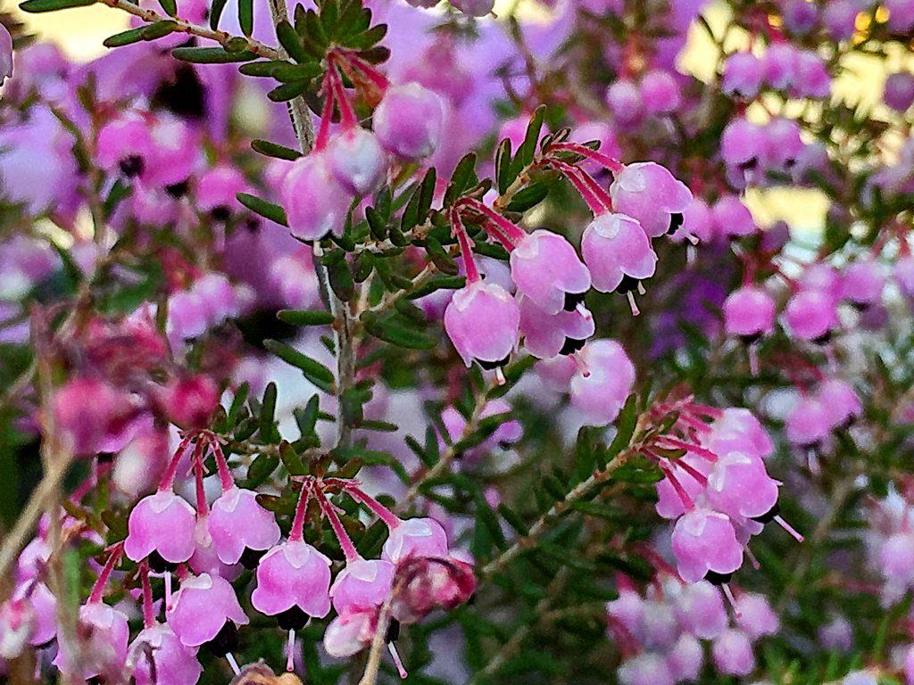 ピンク色の小さな花を枝を覆うように付けたジャノメエリカ