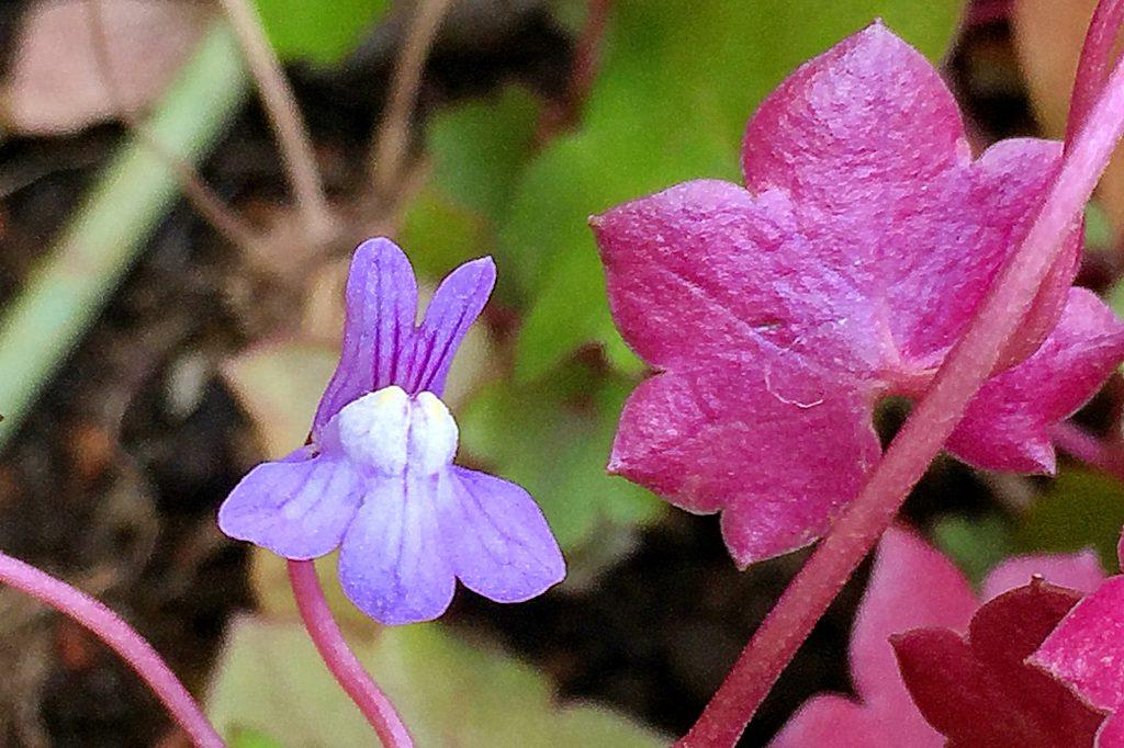唇型の青に赤筋が入った花と真っ赤な葉裏の対比がきれいなツタバウンラン