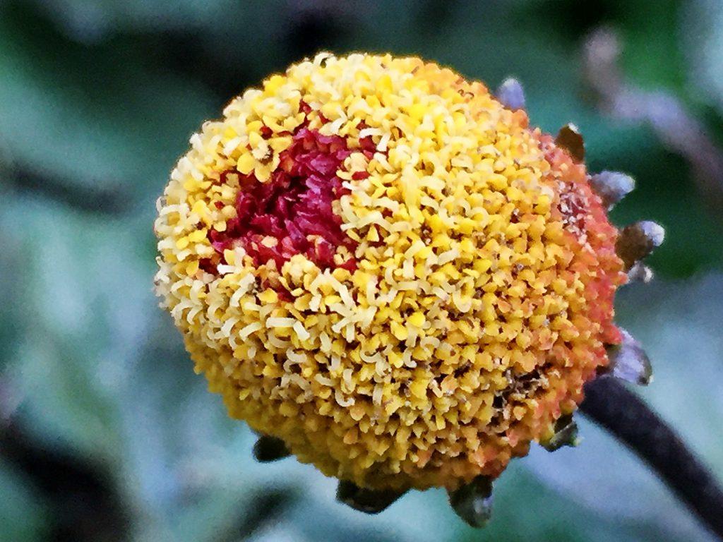 下から咲きああって縦長になったオランダセンニチの花