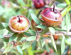 ギョリュウバイの果実