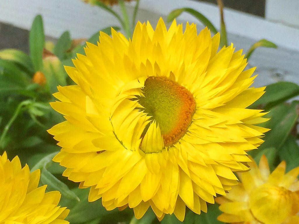 ムギワラギクの舌状花に見える総苞片