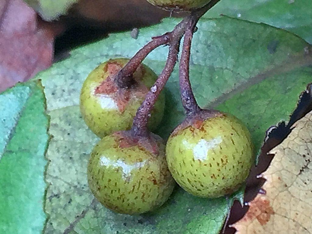 ヤブコウジの若い果実
