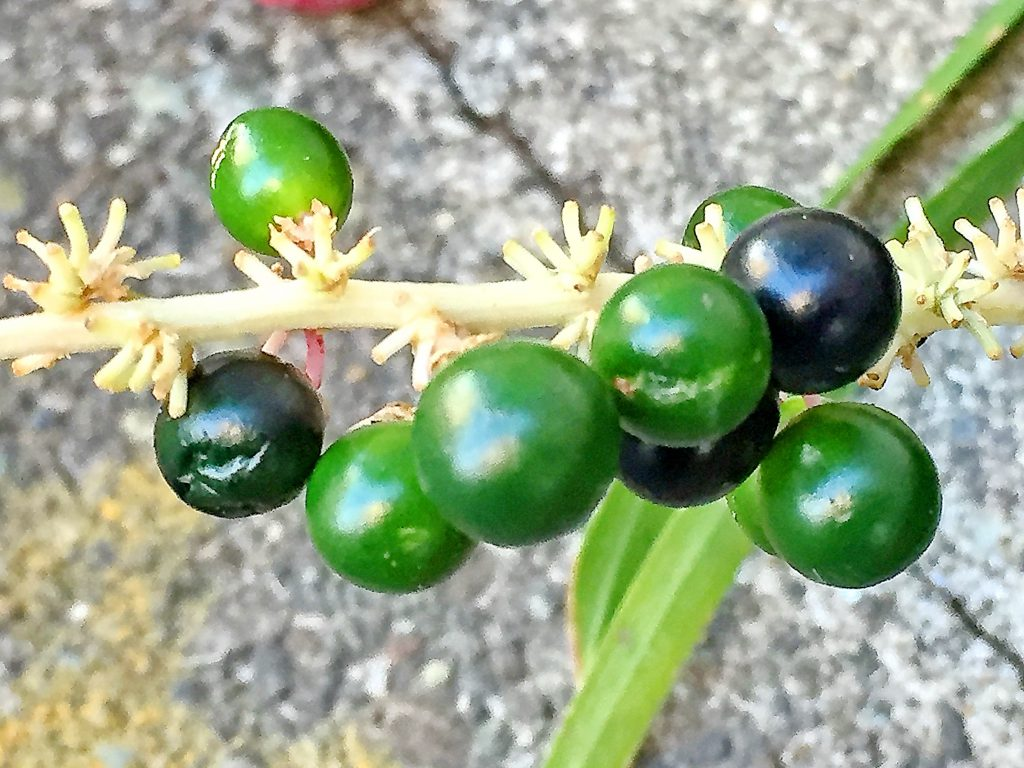 ヤブランの若い種子