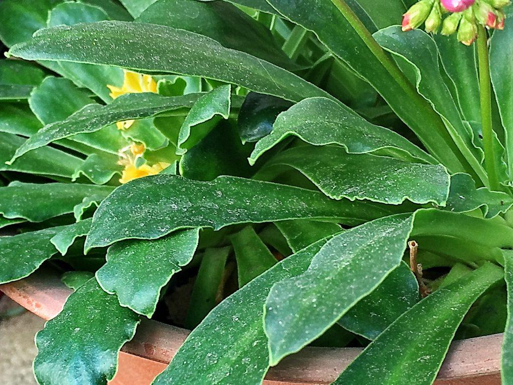 レウィシアの多肉質な葉