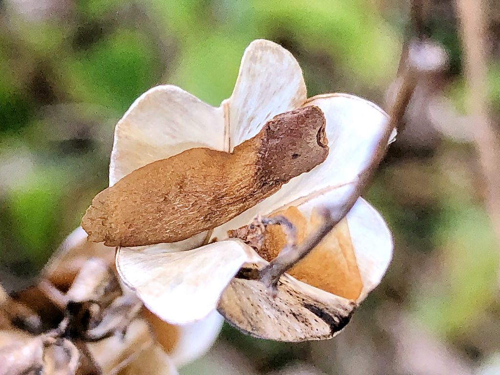 オニドコロの種子