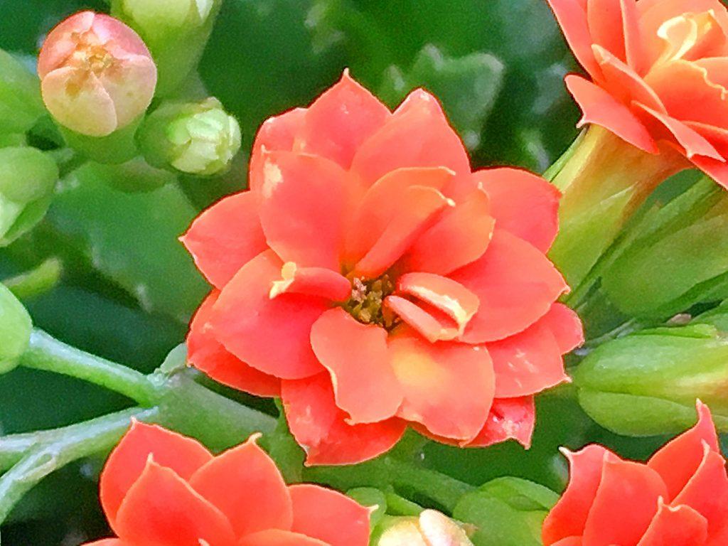 カランコエ八重咲種