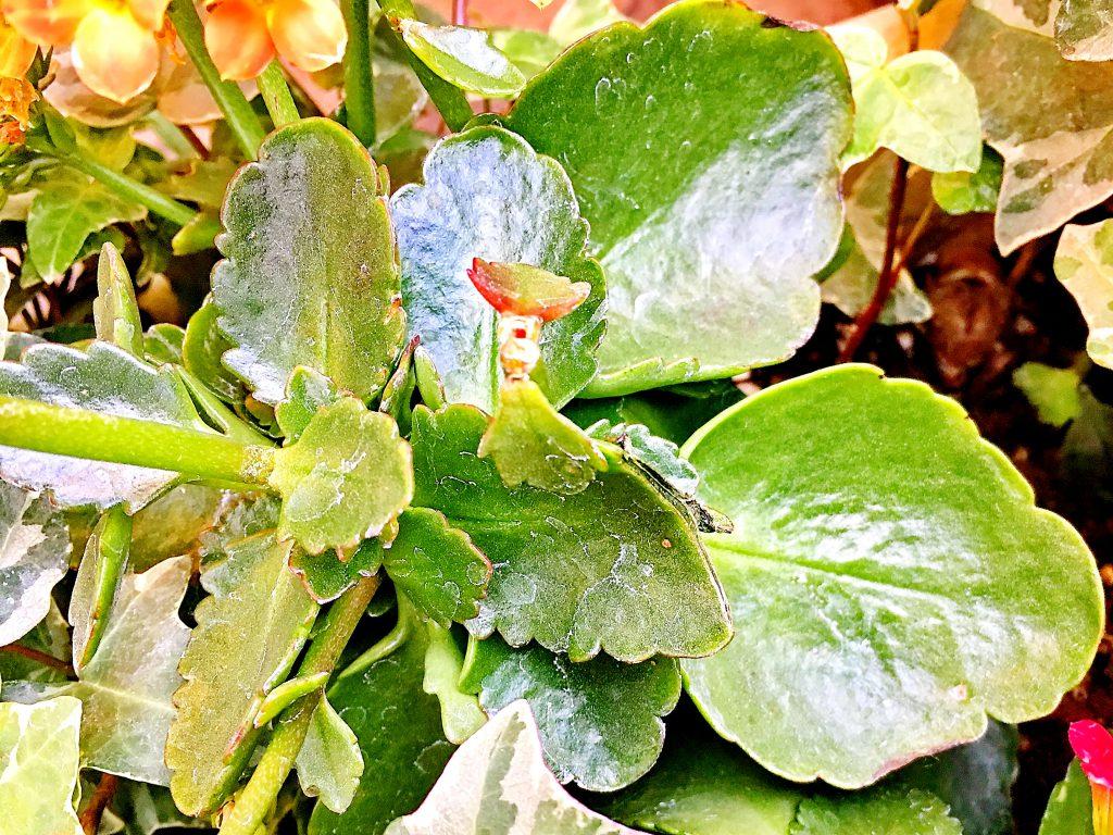 カランコエの葉