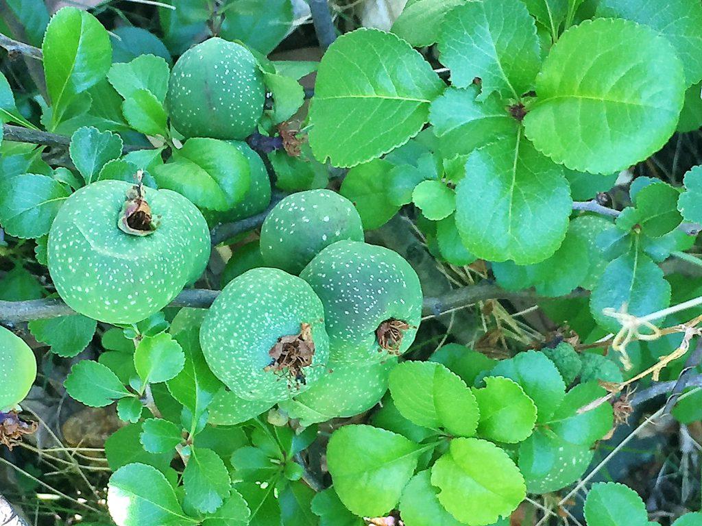 クサボケの果実