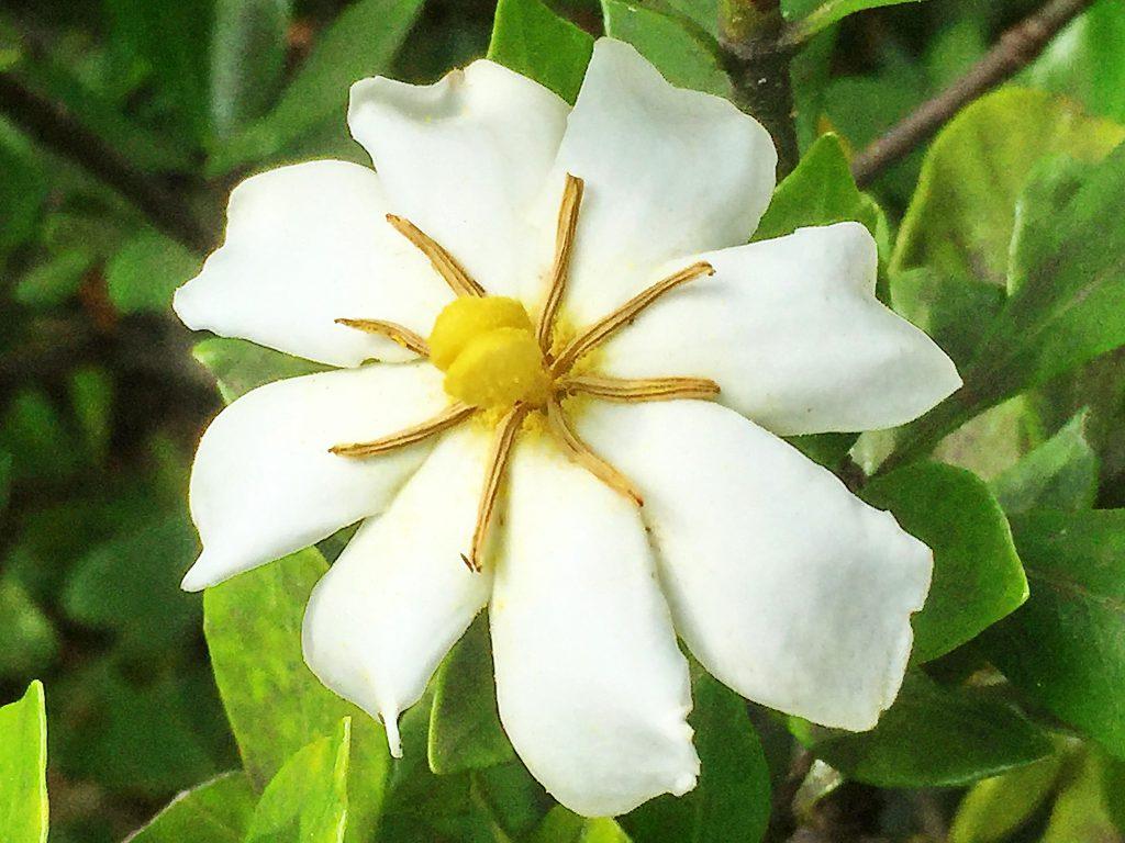 花弁が8枚のクチナシの花