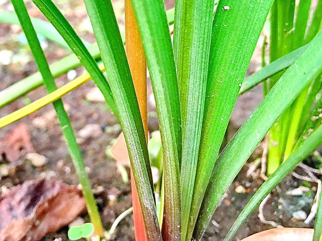 サフランモドキの葉