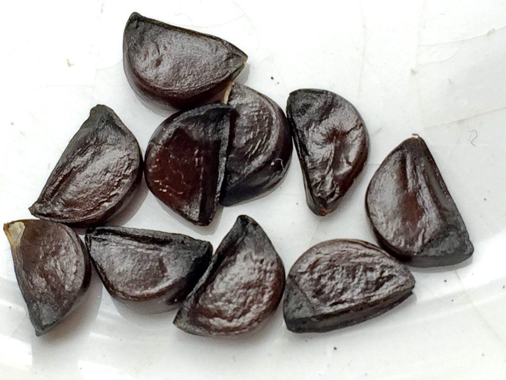 タマスダレの種子